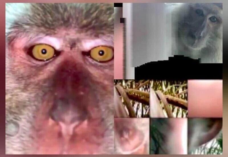monkey selfie missing phone