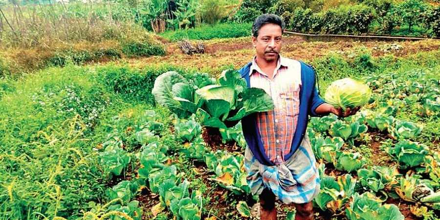 Farmer in his farm growing cabbages