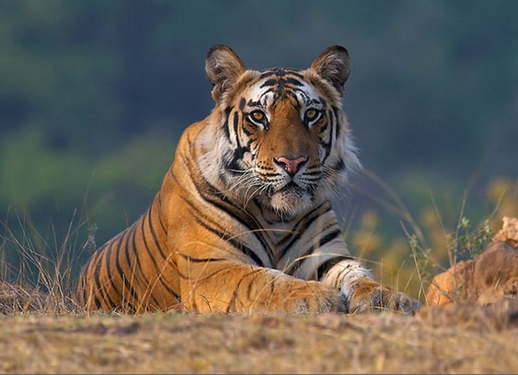 Madhya Pradesh loses 26 tigers